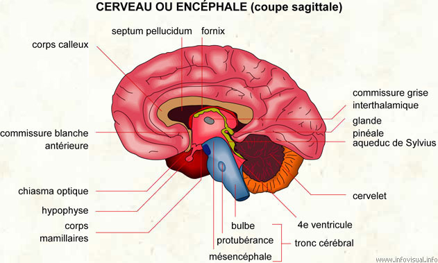 le cerveau 04320c10