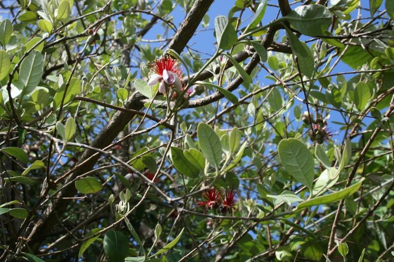 Fleurs de saison Acca_s12