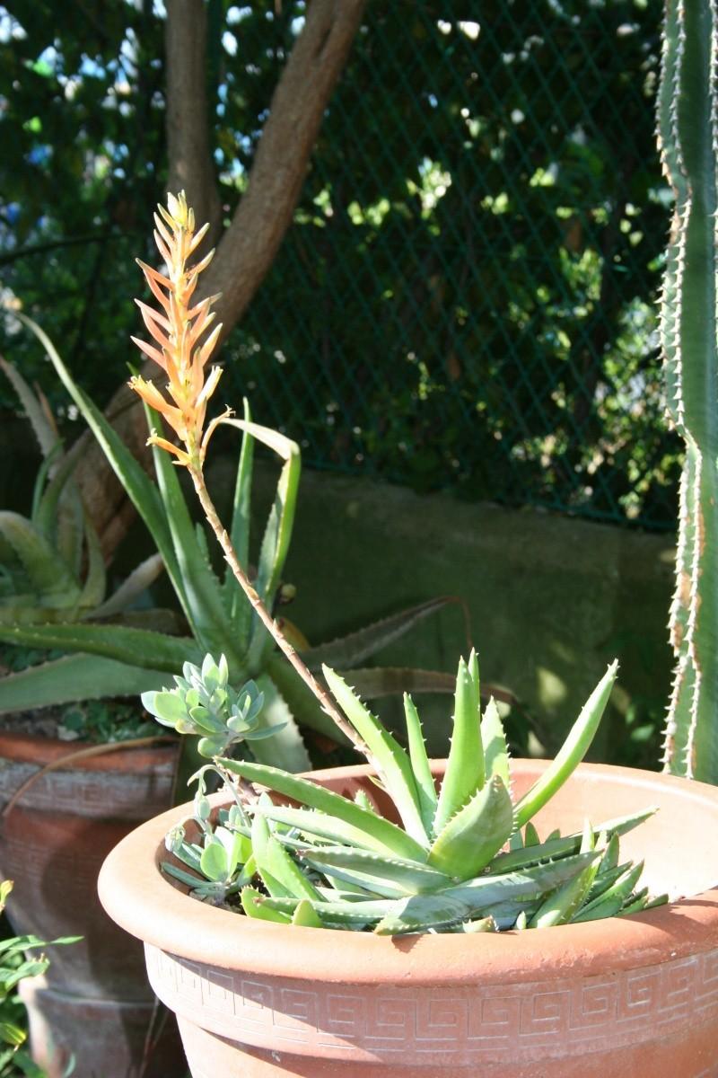 Aloe brevifolia en fleurs Aloe_b12