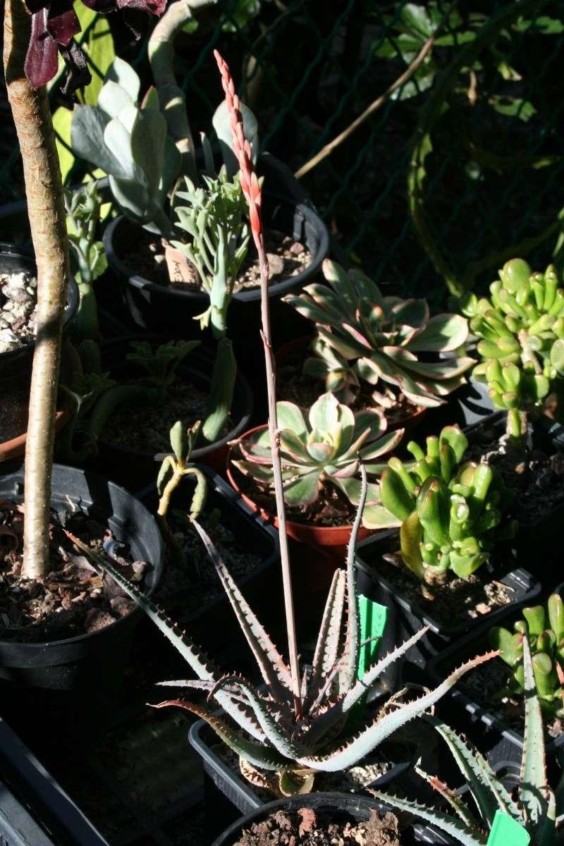 Aloe miniatures en fleurs Aloe_p10