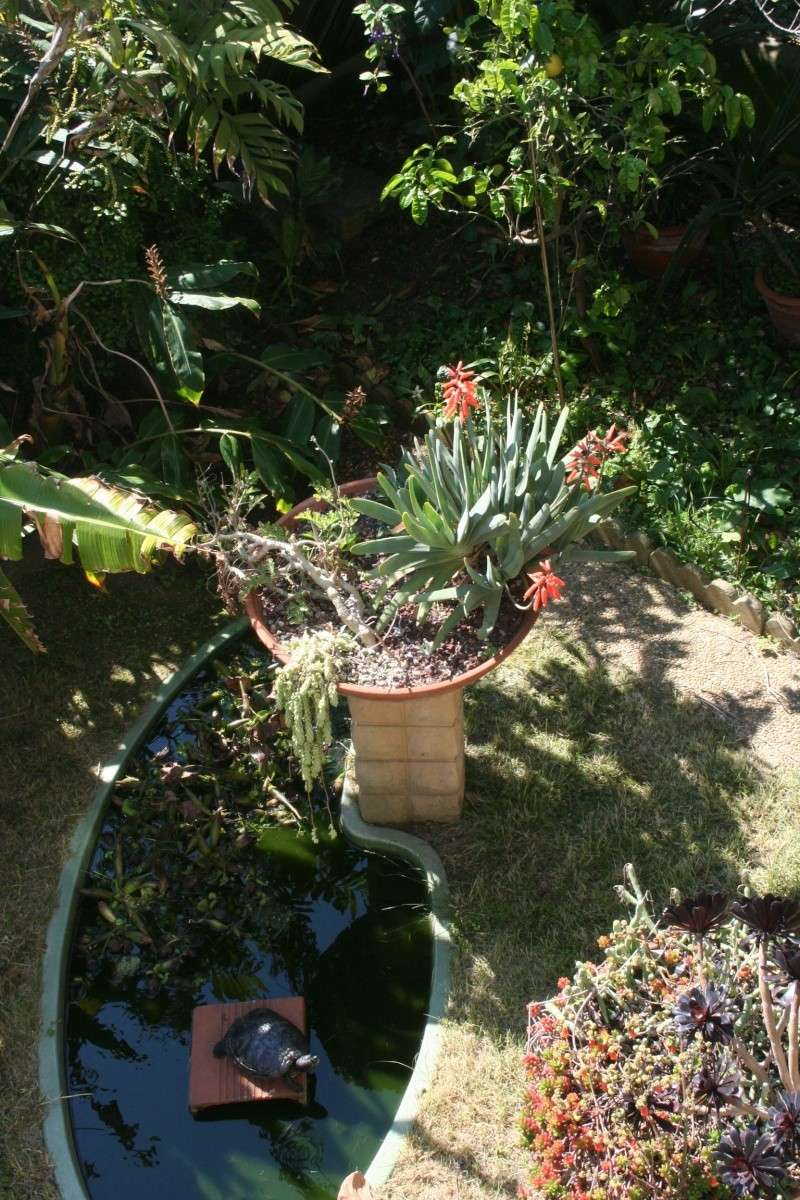 Aloe plicatilis, une merveille Aloe_p14