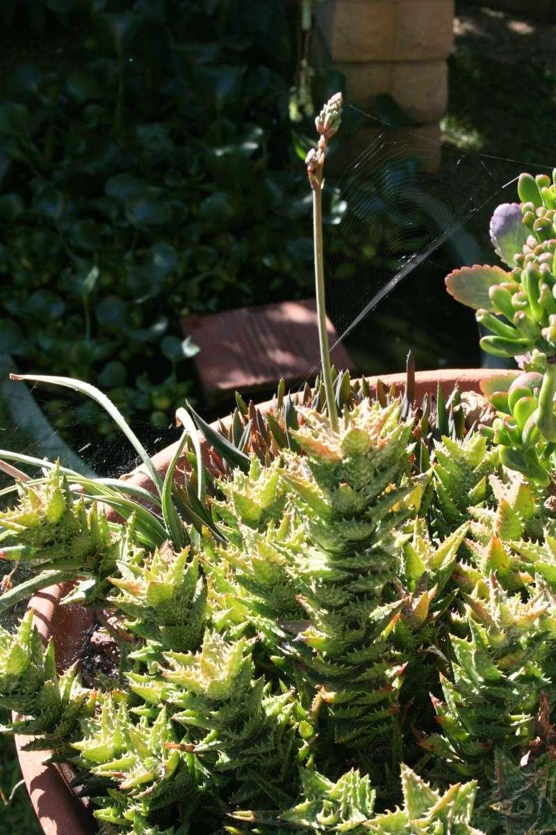 Aloe miniatures en fleurs Aloe_s10