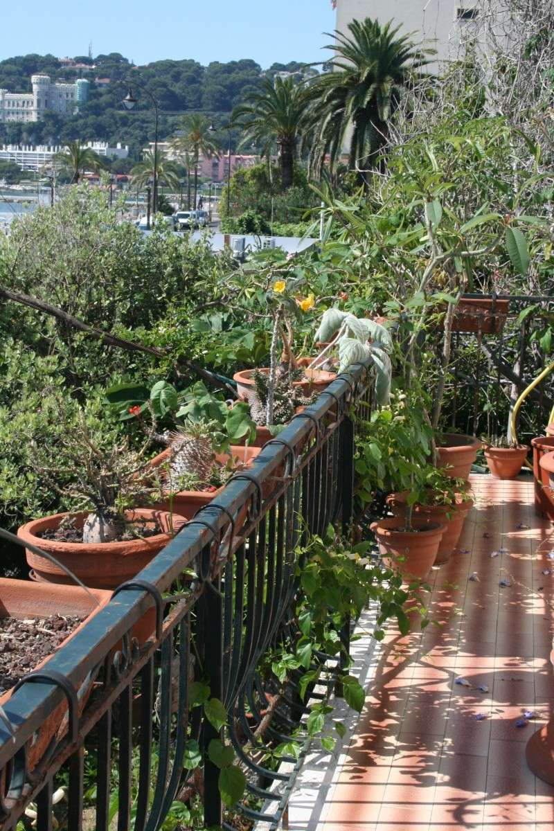 Uncarina roeosliana, vraiment florifère Balcon10