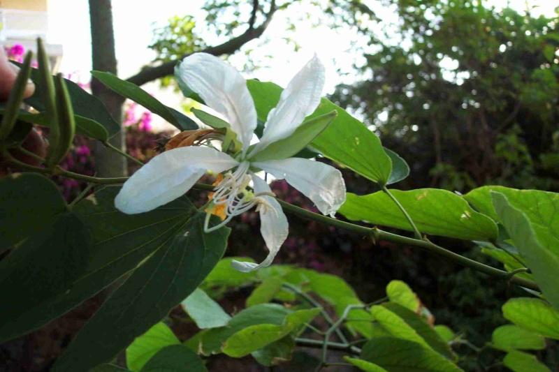 Le Bauhinia grandiflora Bauhin13