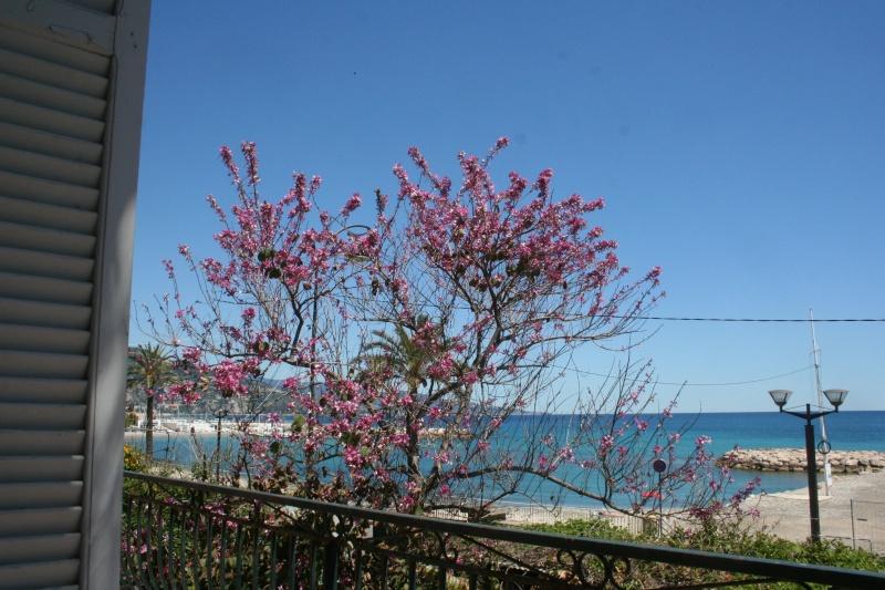 Bauhinia variegata alba Bauhin19