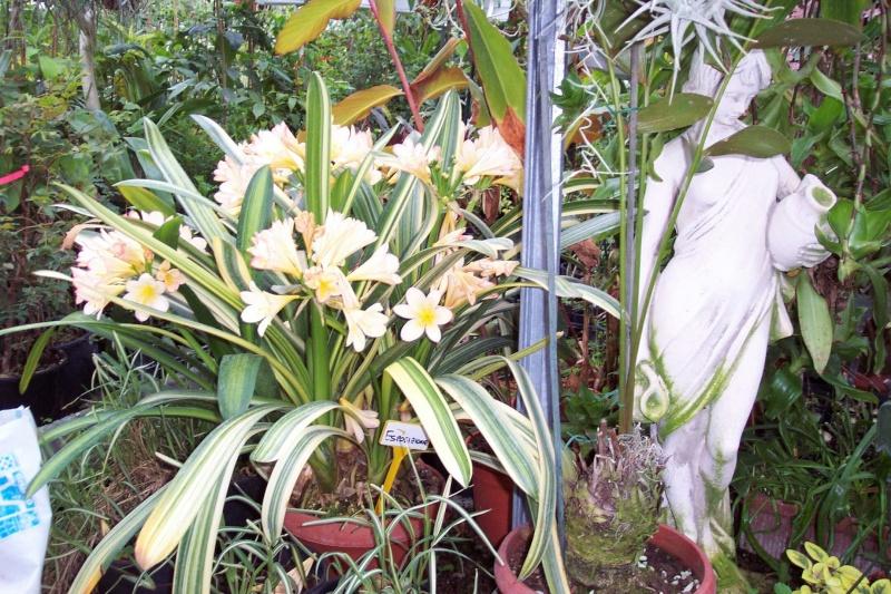 Bauhinia purpurea variegata (feuilles panachées) Chez_n11