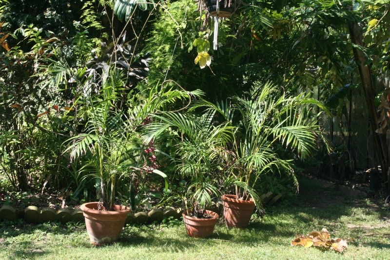 Les Chrisalidocarpus ( Areca ) sont de sortie Chrisa10