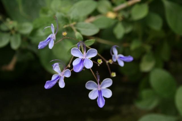 Clerodendrum ugandense Clerod10