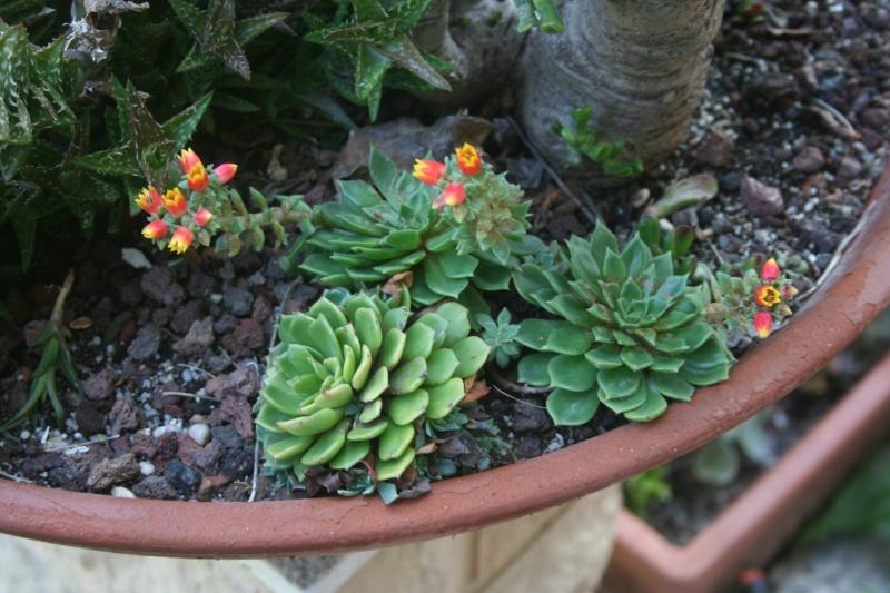 Deux Echeveria miniatures en fleurs Echeve11