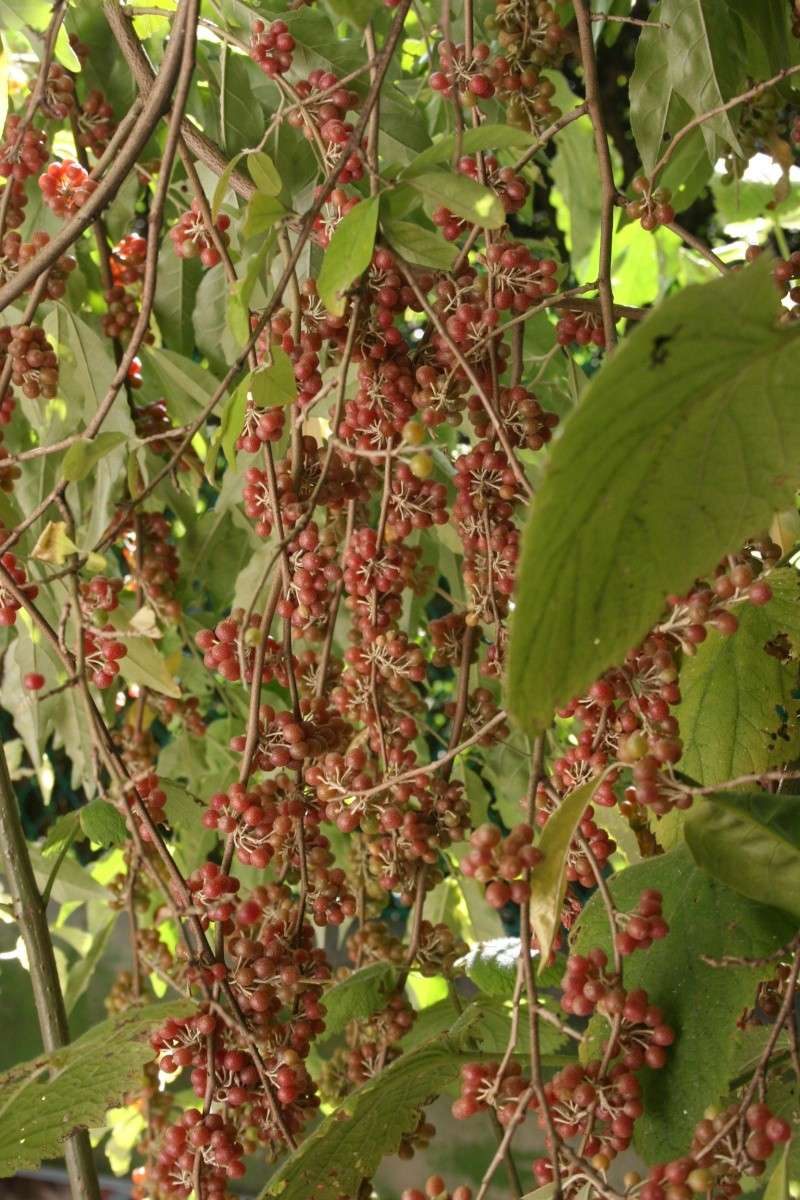 Elaeagnus philippensis, petits fruits rouges pour la Toussaint Elaeag10