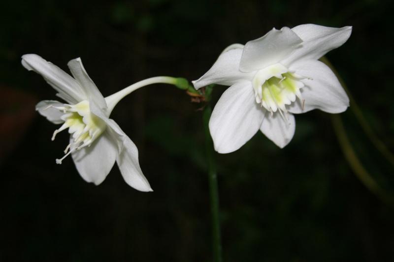 Eucharis grandiflora, un bulbe vraiment frileux Euchar12