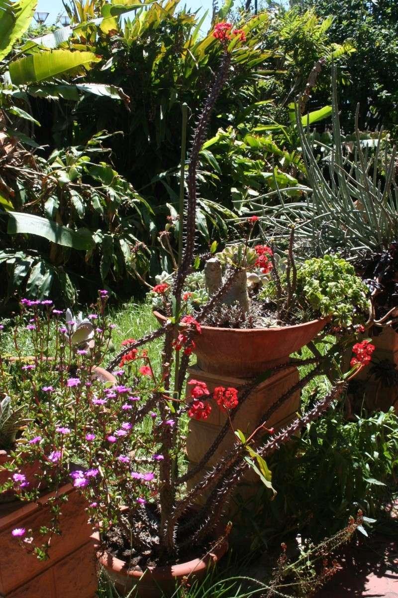 Euphorbia milii var hislopii : splendide ! Euphor21