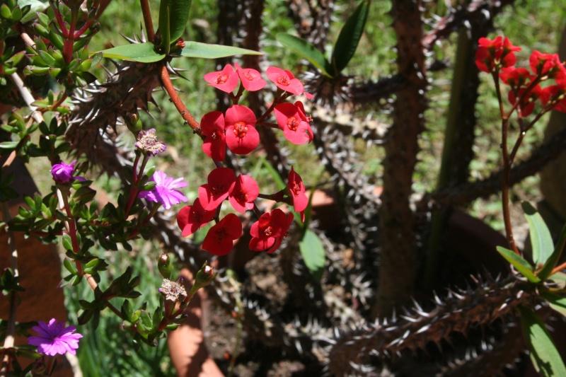 Euphorbia milii var hislopii : splendide ! Euphor22