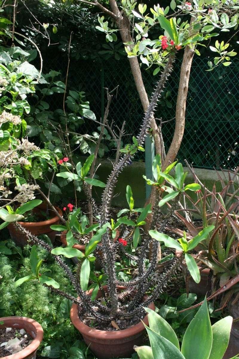 Euphorbia milii var hislopii : splendide ! Euphor23
