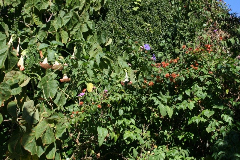 Brugmansia et autres fleurs d'automne ! Fleurs10
