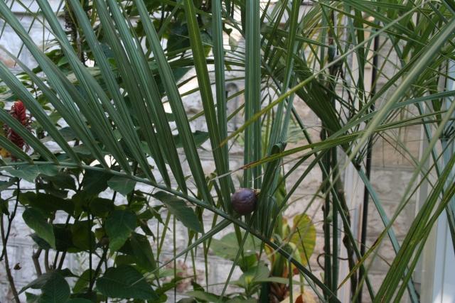 Tour de jardin en attendant une invitée Fruit_10