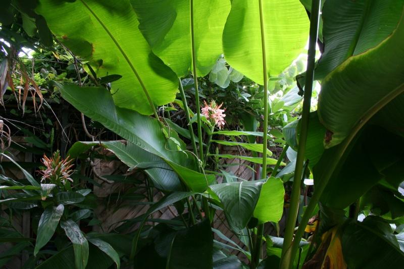Hedychium angustifolium, merveille de fin d'été Hedych28