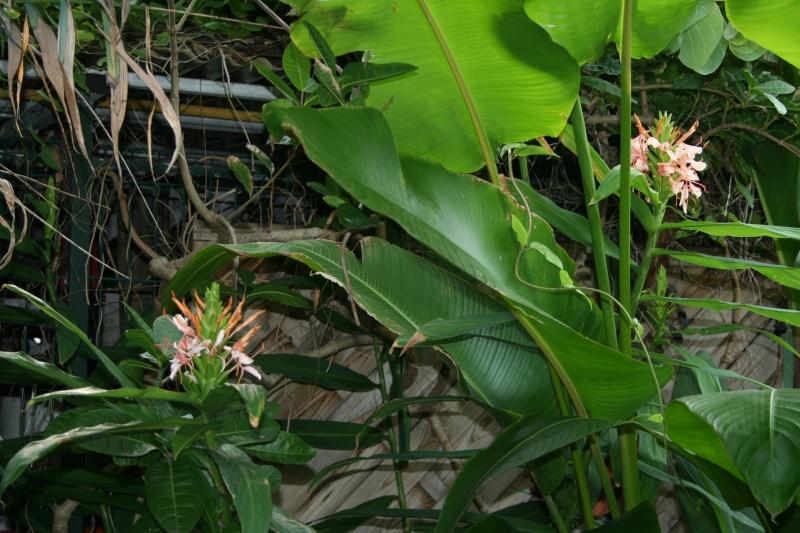 Hedychium angustifolium, merveille de fin d'été Hedych29