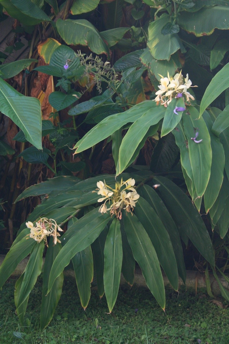 Hedychium flavescens, une tardive très parfumée Hedych32