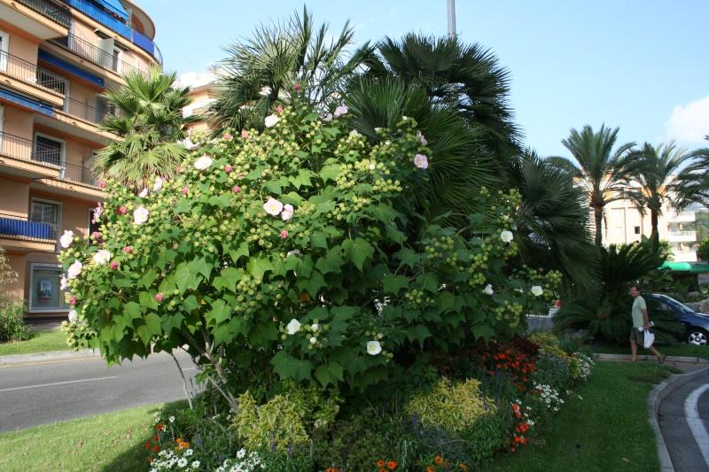 Semis Hibiscus Mutabilis Hibisc14