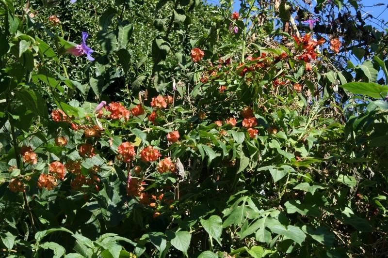 Brugmansia et autres fleurs d'automne ! Holmsk10