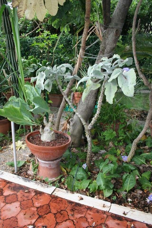 Succulentes diverses Kalanc10