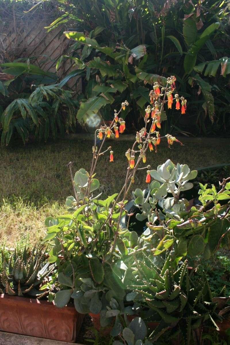 Un nouveau Kalanchoe, à floraison splendide Kalanc15