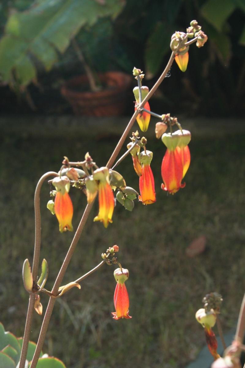 Un nouveau Kalanchoe, à floraison splendide Kalanc16