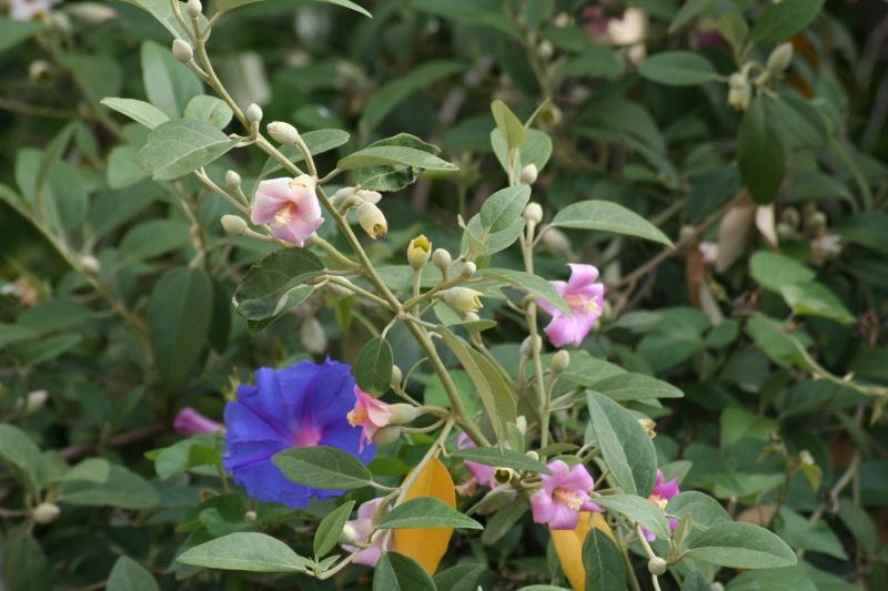 Lagunaria patersonii, cousin des Hibiscus, et autres Laguna15