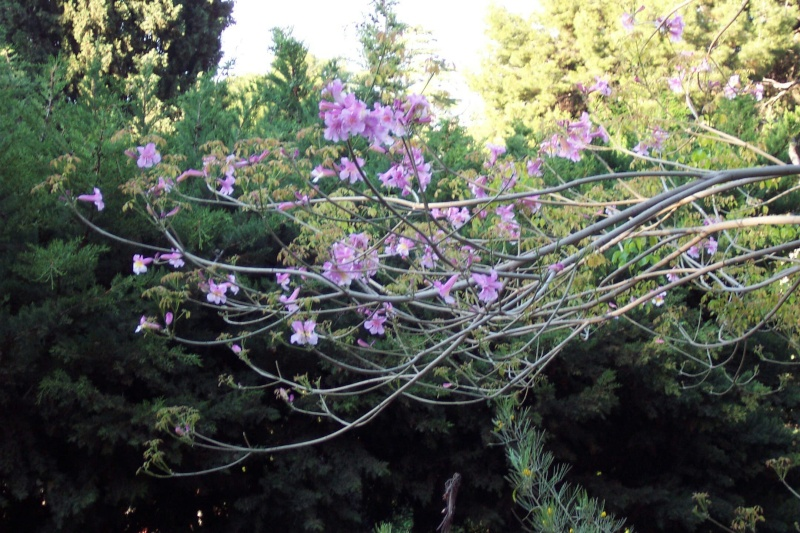 semis en projet- amorphophallus- tabebuia-rhodocoma-etc Les_co10