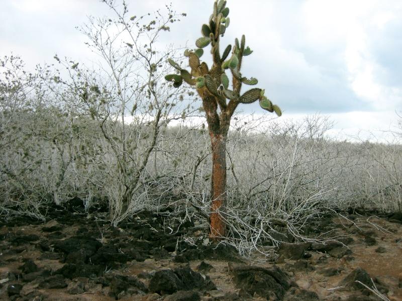 Cactus et plantes succulentes du monde Opunti11