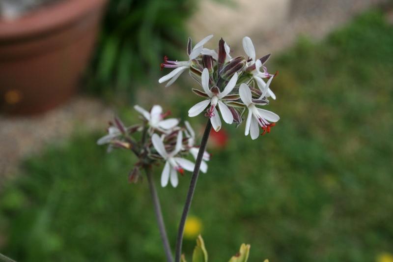 Pelargonium ferulaceum, au naturel Pelarg13