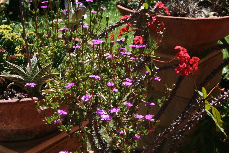 Euphorbia milii var hislopii : splendide ! Ruschi10