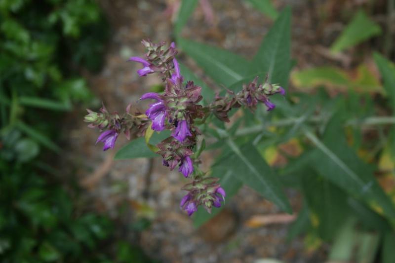 Quelques fleurs en ce mois de juin Salcia10