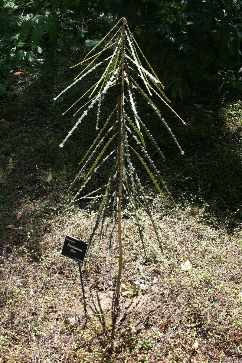 semis en projet- amorphophallus- tabebuia-rhodocoma-etc Serre_11