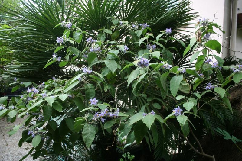 Pour Anselme 44, mon Solanum lanceolatum  Solanu10