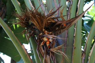 semences Ravenala madagascariensis Streli10