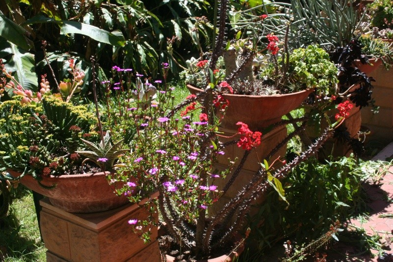 Euphorbia milii var hislopii : splendide ! Terras13
