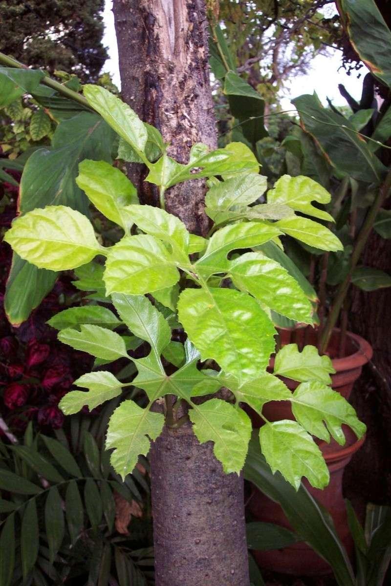 semis en projet- amorphophallus- tabebuia-rhodocoma-etc Treves13