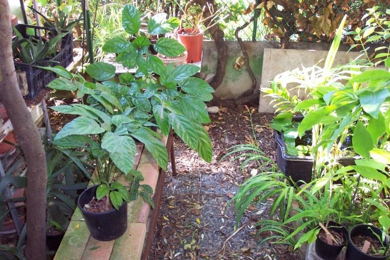 semis en projet- amorphophallus- tabebuia-rhodocoma-etc Treves14