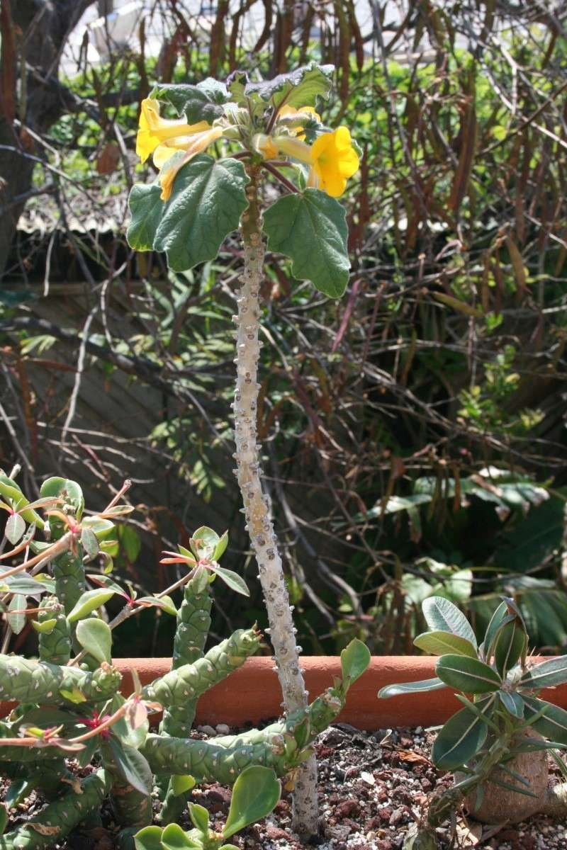 Uncarina roeosliana, vraiment florifère Uncari15