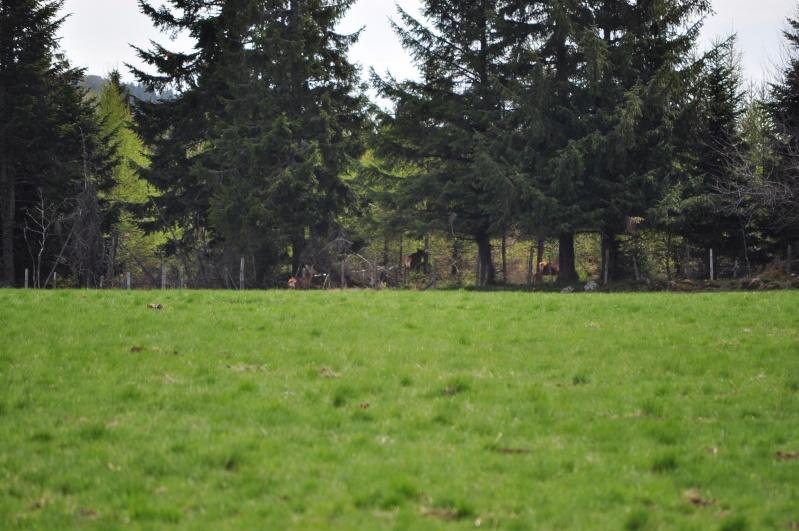 Le cézallier en Avril 2011 Dsc_2218