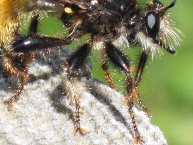 Asilidae, Laphria sp. Juille22