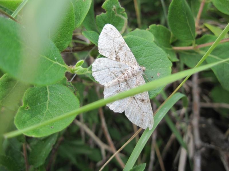 [Lepidoptera divers] Lépidoptères des Alpes-Maritimes Juille38