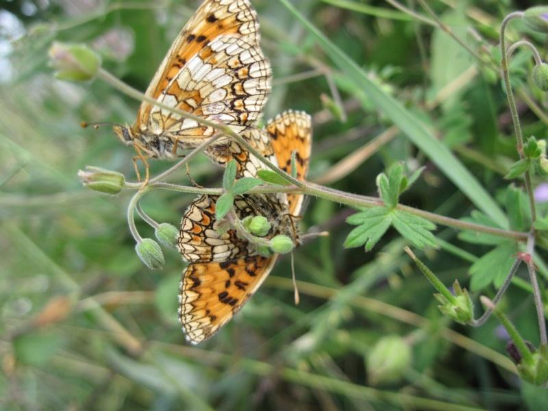[Lepidoptera divers] Lépidoptères des Alpes-Maritimes Juille39