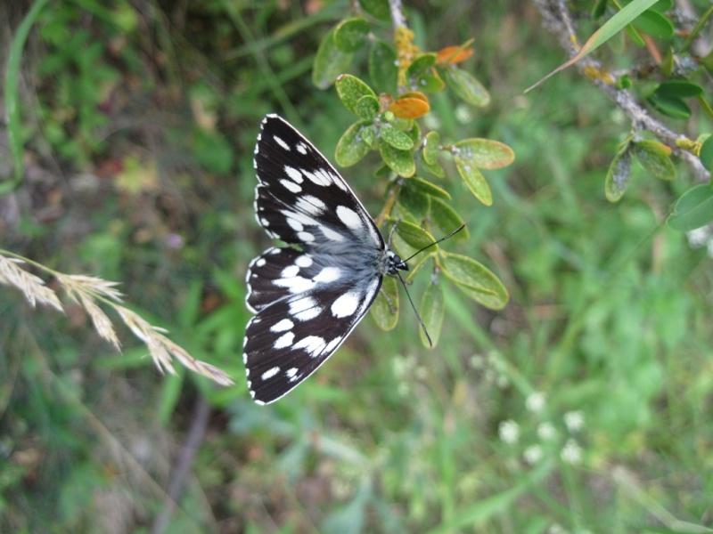 [Lepidoptera divers] Lépidoptères des Alpes-Maritimes Juille40