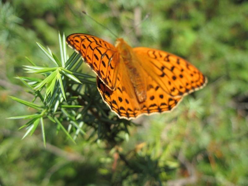 [Lepidoptera divers] Lépidoptères des Alpes-Maritimes Juille41
