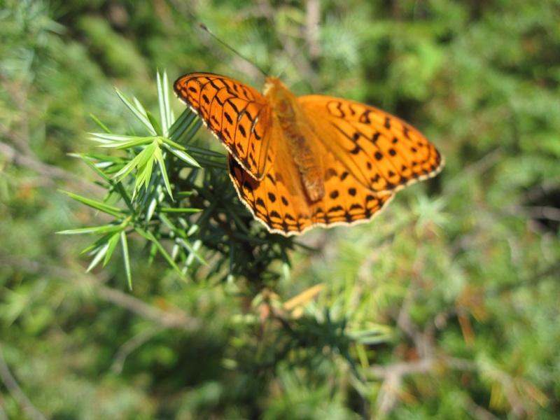 [Lepidoptera divers] Lépidoptères des Alpes-Maritimes Juille42