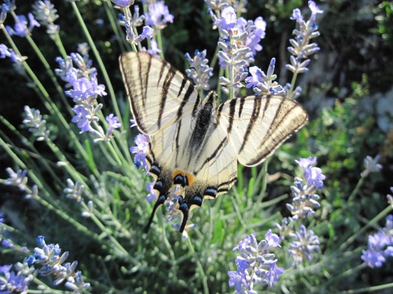 [Lepidoptera divers] Lépidoptères des Alpes-Maritimes Juille43
