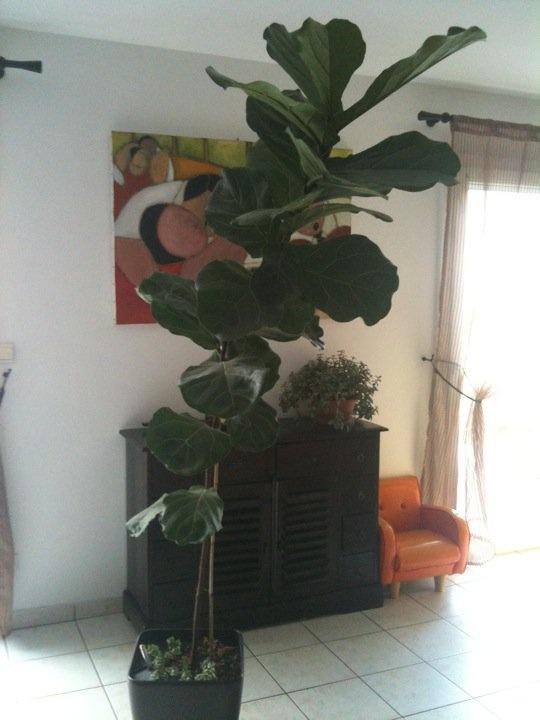 mon ficus lyrata !! hier et aujourd hui ;o) Ficus110